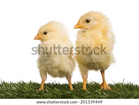 Two Chicks (8 days old) standing in grass #201339449