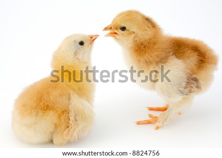 Two chicks kissing  a over white background