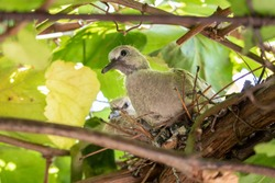 Two chicks of a pigeon (Streptopelus capicola) look from the nest among the leaves of decorative grapes