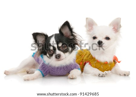 Two Chihuahua dogs in clothing on the white background in the studio