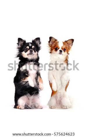 Two chihuahua dogs up trick