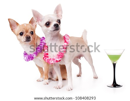 two chihuahua dressed as holidaymakers