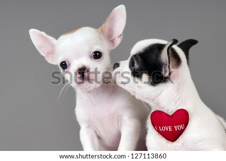 Two Chihuahua puppies, 2 months old with sign I Love You.