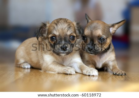 two Chihuahua puppies on a floor with blurred background