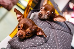 Two chihuahua puppies sitting in pocket of hipster canvas backpack with funny faces and looking different ways. Dogs travel. Comfortable relax. Pets on vacation. Animals family lying together at home
