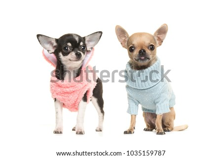 Two chihuahua puppy dogs wearing a pink sweater and wearing a blue sweater on a white background