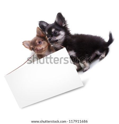 Two Chihuahua Puppy hold an empty card isolated on a white background. High resolution