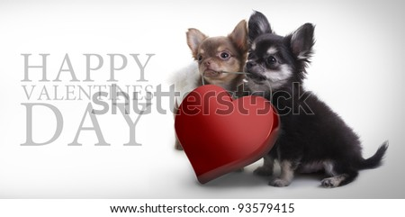 Two Chihuahua Puppy Wearing Pink Valentine Heart on white background.