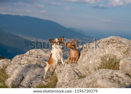 two chihuahua stands on the  high mountain rocks stones #1196730379