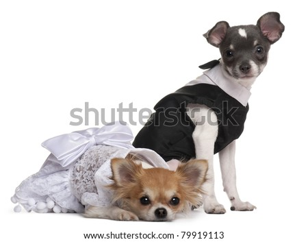 Two Chihuahuas dressed-up in front of white background