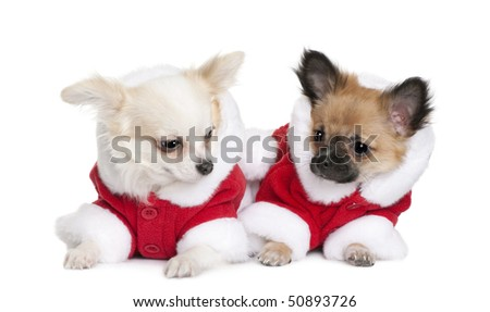 Two Chihuahuas in Santa coats, 7 months old, sitting in front of white background