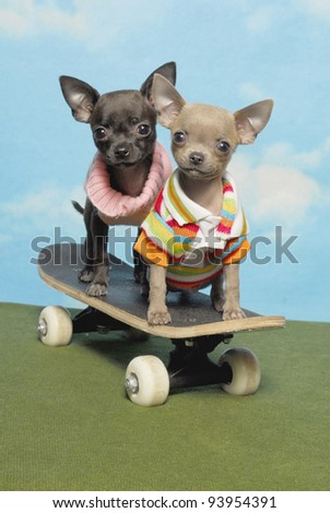 Two Chihuahuas on a Skate Board