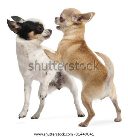 Two Chihuahuas playing in front of white background