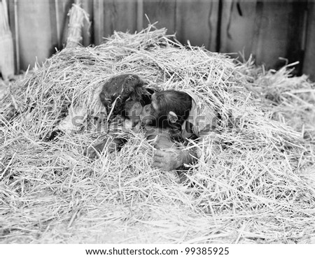 Two Chimpanzee kissing in the hay