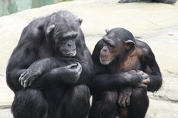Two chimpanzees sitting next to each other with their arm's folded
