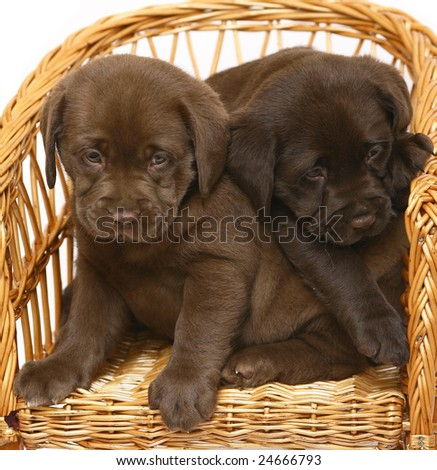 Chocolate Labrador Puppies on Labrador Retriever Puppies Puppy Labrador Retriever Cream Find Similar