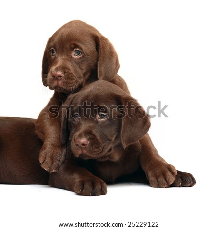 Two chocolate puppies. Two dogs on a white background.