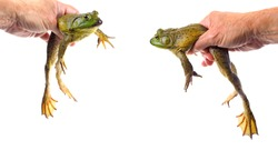 Two Closeup Focus Stacked Images of a Large American Bullfrog Held, Isolated on White