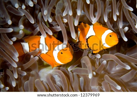 two clown anemonefish swimming in the tentacles of their anemone, underwater