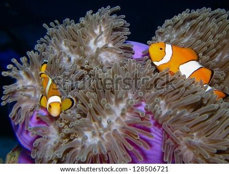 Two Clown fish also known as Clown Anemonefish swim in the midst of the sea anemone tentacles