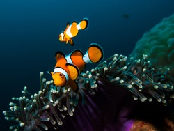 Two clownfish in their host anemone