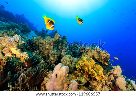 Two clownfish swiming over a tropical coral reef