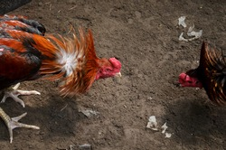 two cock fight in progress in the battle arena