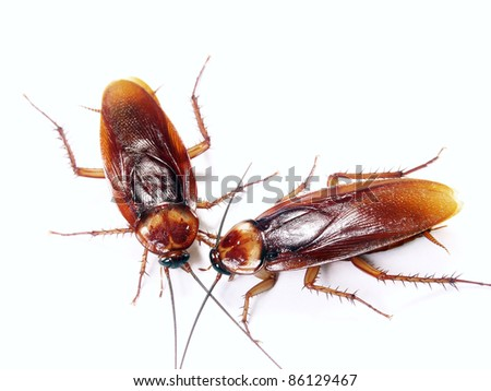 Two cockroach communicating on white background. - stock photo