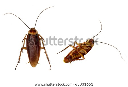 Two Cockroaches carefully isolated by using high key flash background and hand detailing.