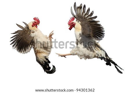 Two cocks fighting
