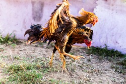 Two cocks fighting. beautiful battle of the Roosters.thailand