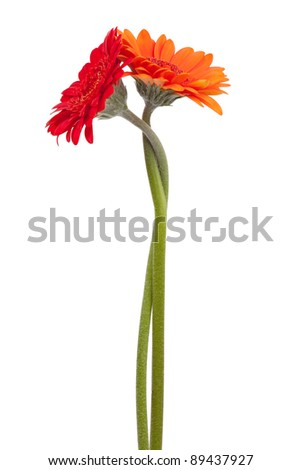 Two-colored gerbera, binding the each other on a white background