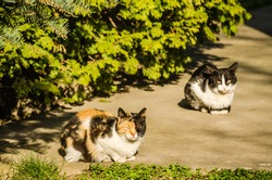 Two colorful cats are sunbathing in the spring sun in the yard under the branches of a white pine tree.