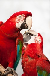 Two colorful parrots eating and looking at the camera, close up.