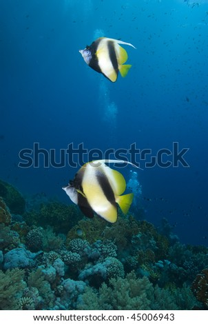 Two colourful Red Sea Bannerfish (heniochus intermedius) with a coral reef background. Red Sea, Egypt.