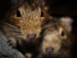 Two common degus or octodon degus. Cute pets. Small rodents. Beautiful gnawers. Lovely animal friendship. Close up.