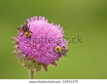 Two common eastern bumble bees, Bombus impatiens, on a thistle flower
