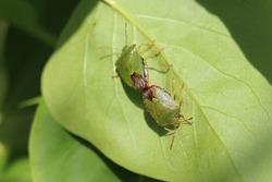 Two common green shieldbugs, shield bugs, Palomena prasina or stink bug mating on a green leaf in early summer