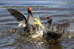 Two common moorhen fighting. The common moorhen (Gallinula chloropus), also known as the waterhen or swamp chicken, is a bird species in the rail family (Rallidae).