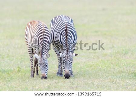 Two Common or Plains Zebra (Equus quagga) grazing on the plain in the Ngorongoro crater, Ngorongoro crater national park, Tanzania #1399165715