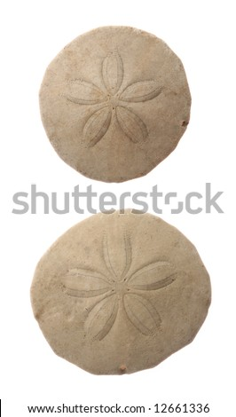 Two common sand dollars isolated on white