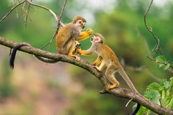 Two common squirrel monkeys (Saimiri sciureus) playing on a tree branch