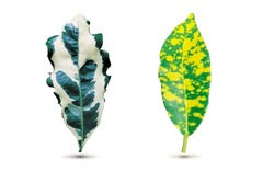Two compare nature fresh blotch leaf of favorite houseplant with white and yellow mixed spot color pattern