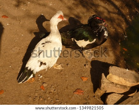 two comrades ducks #1349821505