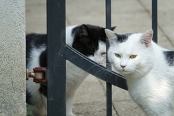 Two Conspiratorial Stray Black and White Cats Plotting with Each Other through a Metal Rail Gate in a Cemetery in Prague