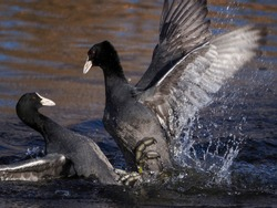 Two Coots (Ooban) are fighting a fierce battle