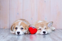 Two Corgi puppies lie on the floor of the house and between them lies a bright red heart