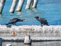 Two cormorants are pulling a stick. Two cormorants are playing on the dock. The great cormorant, Phalacrocorax carbo, known as the great black cormorant, or the black shag.