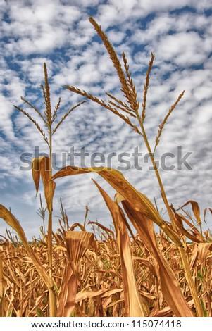 Two corn-stalks
