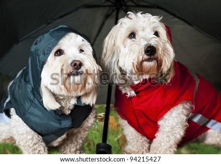 Two coton de tulear dogs in raincoats under umbrella